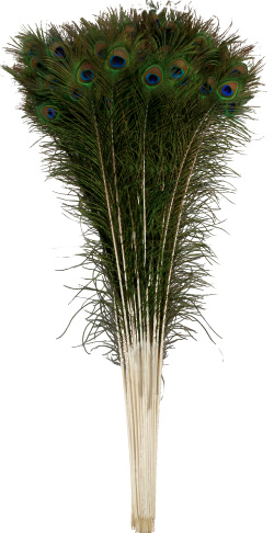 peacock feather stems